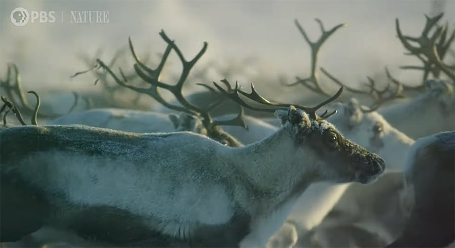 reindeer running together