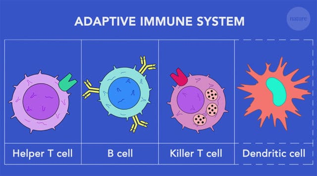 adaptive immune system cells