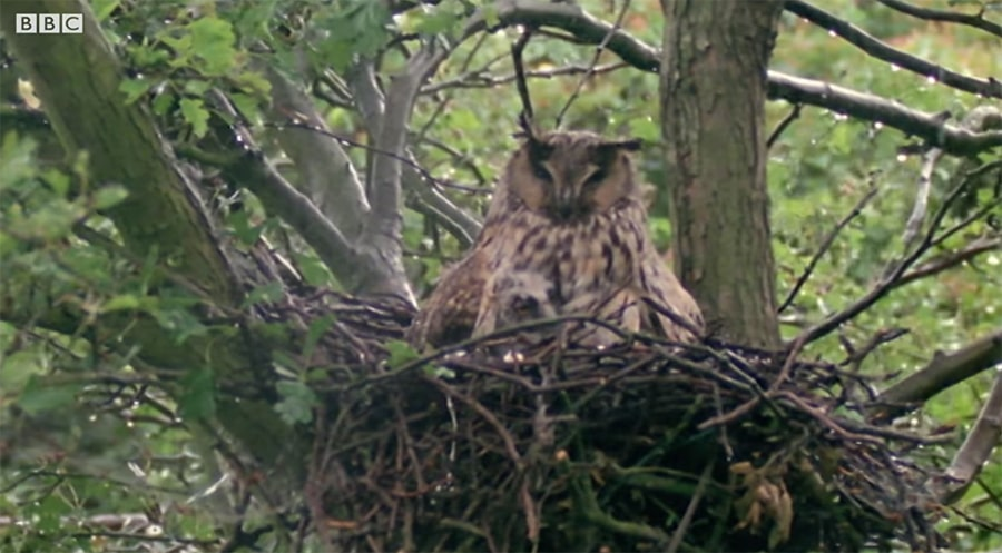 long-eared owl mother protecting her young from rain