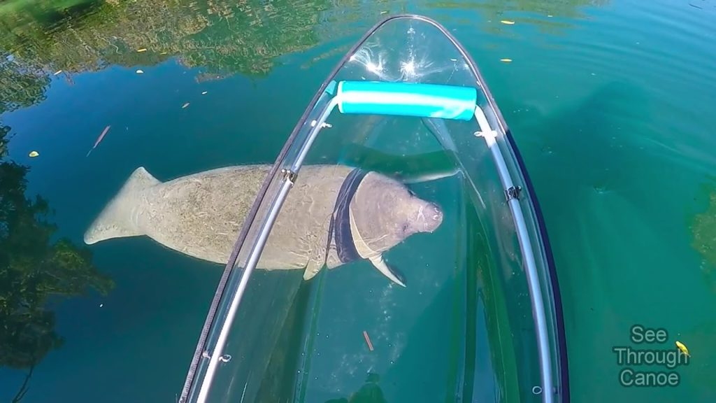 manatee under a clear kayak