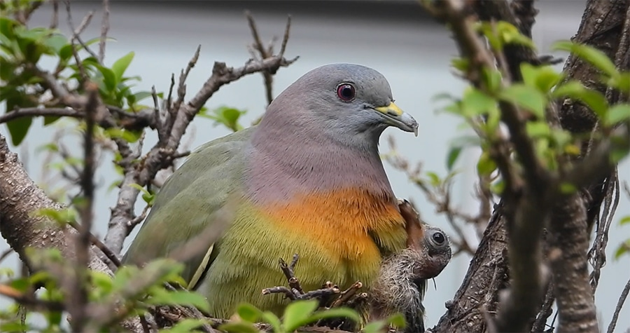 pink necked green pigeon