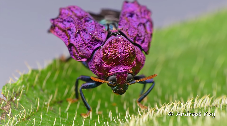 leaf beetle opening carapace