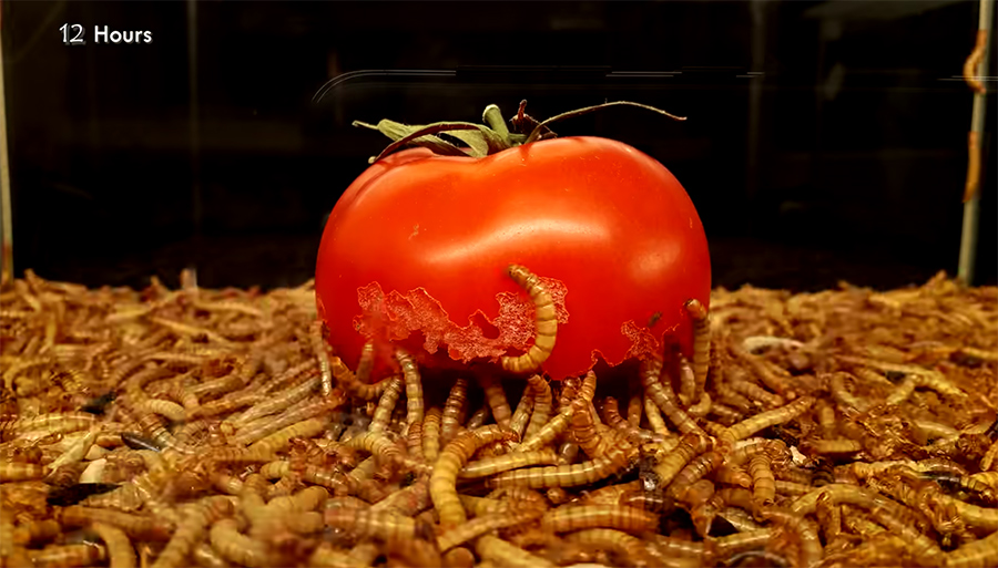 mealworms eat a tomato