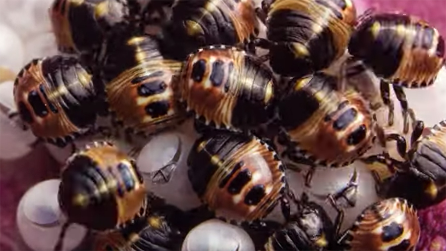 Brown-Marmorated-Stink-Bug-nymphs