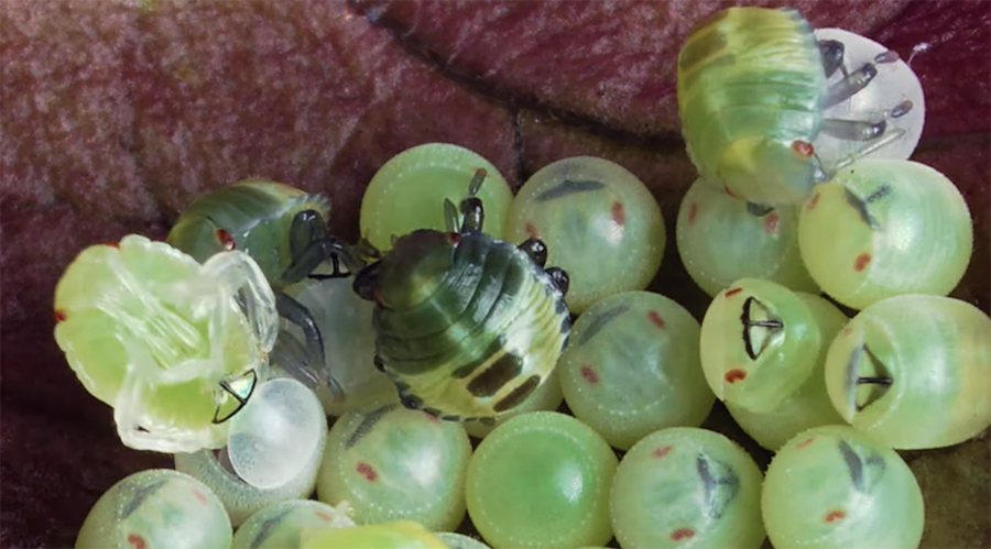 Brown Marmorated Stink Bug nymphs