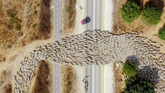 Lior Patel - sheep crossing the road