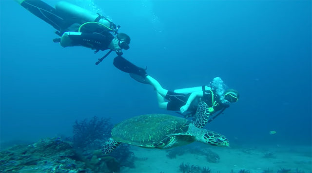 swimming with a hawksbill