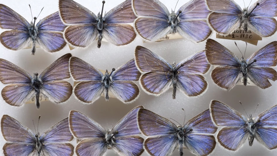 Xerces Blue collections