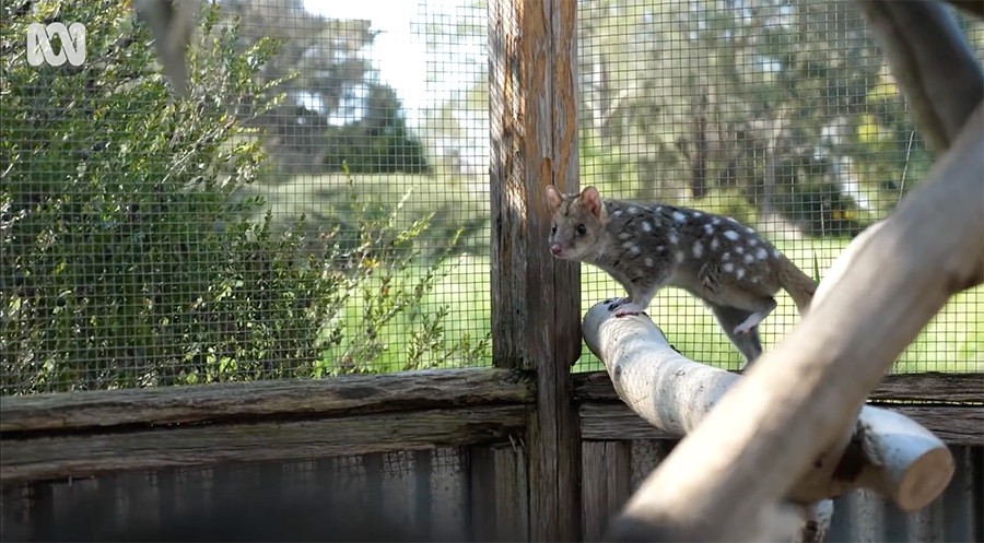adult quoll in an enclosure