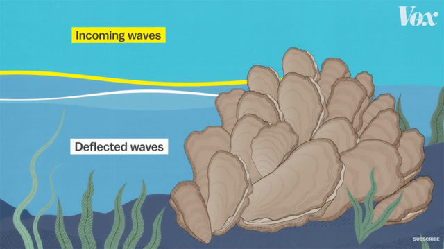 how oyster reefs deflect waves
