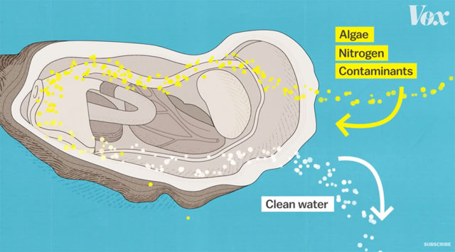 how oysters filter water